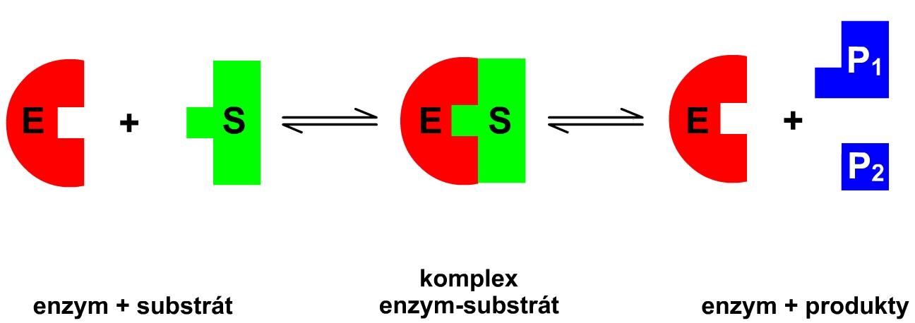 Schéma enzymové reakce