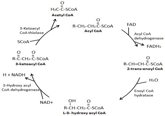 Schéma spalování mastných kyselin